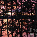 Red Pines by Christine Dekkers