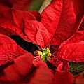 Red Poinsettia 2 by Jai Johnson