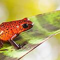 Red Poison Frog by Dirk Ercken
