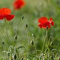 Red Poppies 2 by Carol Lynch