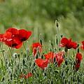 Red Poppies 3 by Carol Lynch