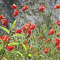 Red Poppies by Charles Good