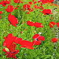 Red Poppies Flowers In Field by William Perry
