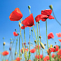 Red Poppies by Matteo Colombo