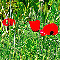 Red Poppies Near Meryem Ana Evi-cottage Believed To Be Mary's Last Home-turkey by Ruth Hager