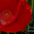 Red Poppies  by Paul W Faust -  Impressions of Light