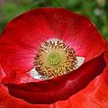 Red Poppy 3 by Katy Hawk