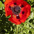 Red Poppy And Bee by Bob Phillips