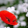 Red Poppy And The Bee by Jale Fancey