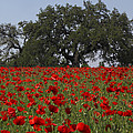 Red Poppy Field by Susan Rovira