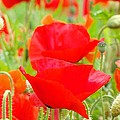 Red Poppy Flowers Art Prints Floral by Baslee Troutman