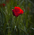 Red Poppy by Svetlana Sewell