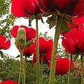 Red Poppy's by Julie Federico
