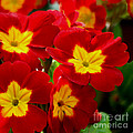 Red Primroses by Art Block Collections