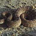 Red Rattlesnake Baja California Mexico by Larry Minden