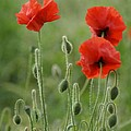 Red Red Poppies 1 by Carol Lynch