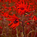 Red Red Wild Flowers by Minding My  Visions by Adri and Ray