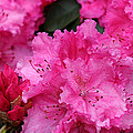 Red Rhododendrons by Chriss Pagani