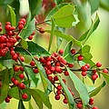 Red Ripe Berries by Maria Urso