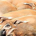 Red River Hogs Potamochoerus Porcus by Stephan Pietzko