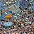 Red Robin by Brent Dolliver