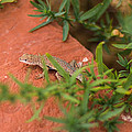 Red Rock Lizard by Andreas Hohl