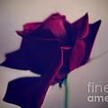Red Rose Abstract by Tara  Shalton