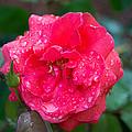 Savannah Ga Red Rose After A Rain by JG Thompson