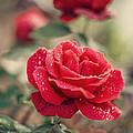 Red Rose After Rain by Diana Kraleva