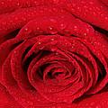 Red Rose And Water Drops by Georgeta  Blanaru