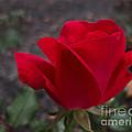 Red Rose by Arlene Carmel