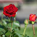 Red Rose Flower by Stupinean Dan Adrian