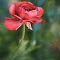 Ranunculus by David and Carol Kelly
