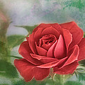 Red Rose II by David and Carol Kelly