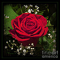 Red Rose by John Stephens