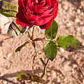 Red Rose  by Luis Alvarenga