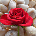 Red Rose On River Rocks 2 by To-Tam Gerwe