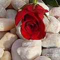 Red Rose On River Rocks by To-Tam Gerwe