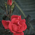 Red Rose With Bud by Jane Luxton