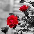 Red Roses by Jai Johnson