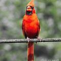 Red Royalty by Lizi Beard-Ward