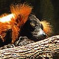 Red Ruffed Lemur by Phillip W Strunk