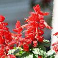 Red Salvia Brush Strokes by Belinda Lee