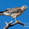 Red-shoulder Hawk by Anthony Mercieca