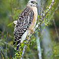 Red-shouldered Hawk by Anthony Mercieca