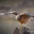 Red Shouldered Hawk Dive by Nava Thompson