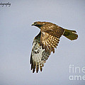 Red-shouldered Hawk Flyby by Barbara Bowen