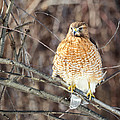 Red-shouldered Hawk Front View Square by Bill Wakeley