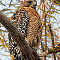 Red-shouldered Hawk In A Willow Tree by Kathleen Bishop