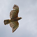 Red Shouldered Hawk In Flight - 06.11.2014 by Jai Johnson